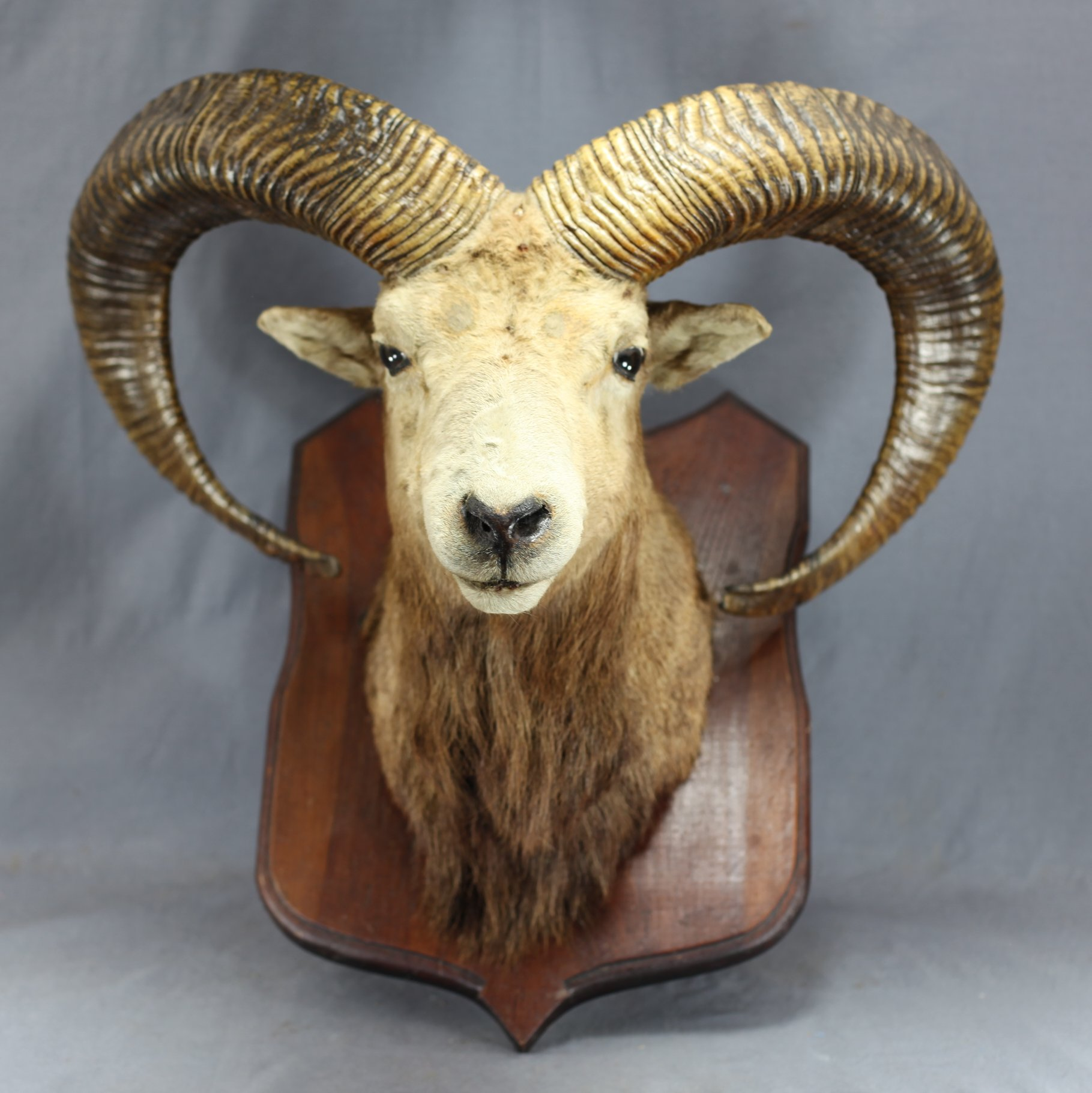 Taxidermy Ram's Head