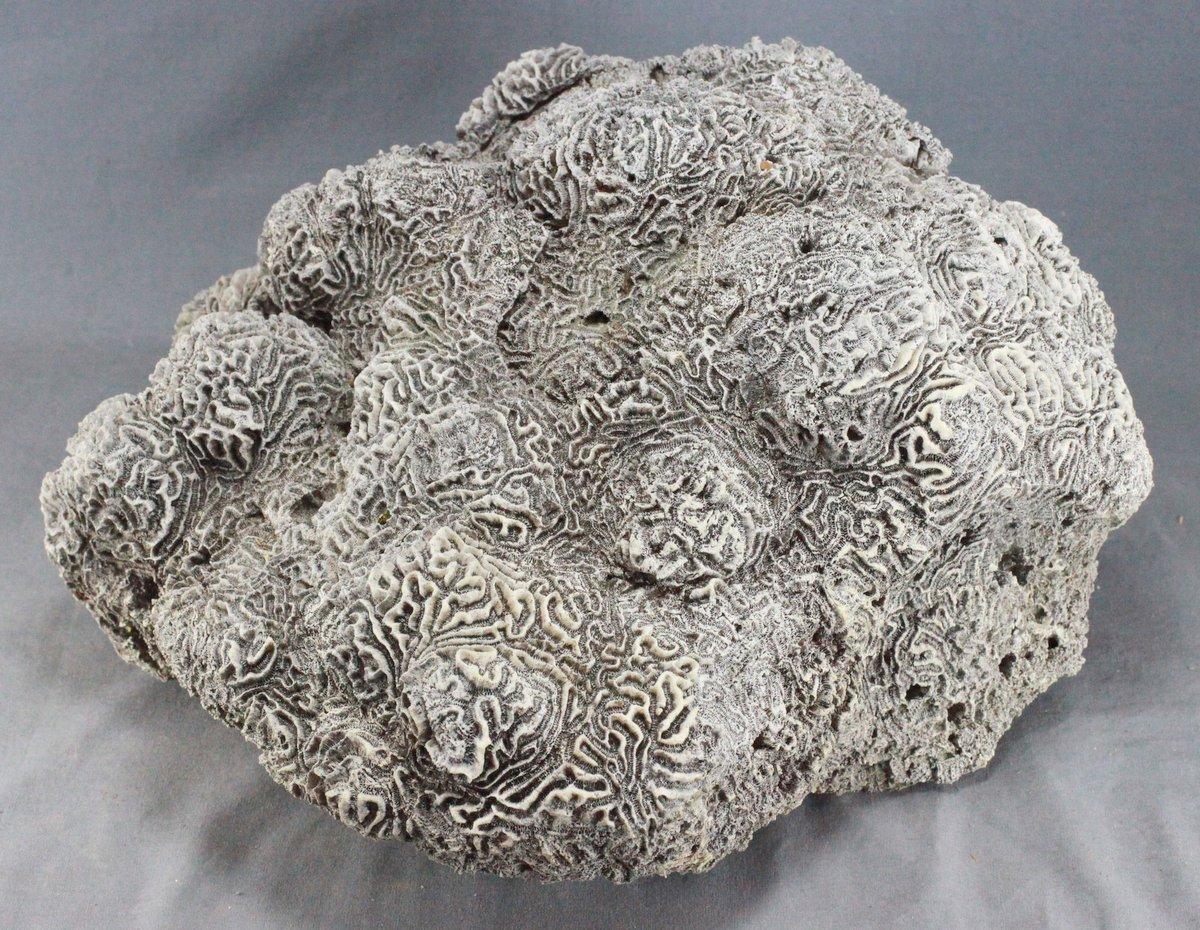 Weathered Brain Coral